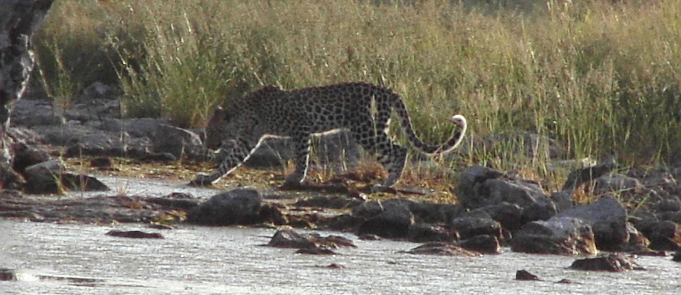 Safari à Etosha, Léopard, Namibie