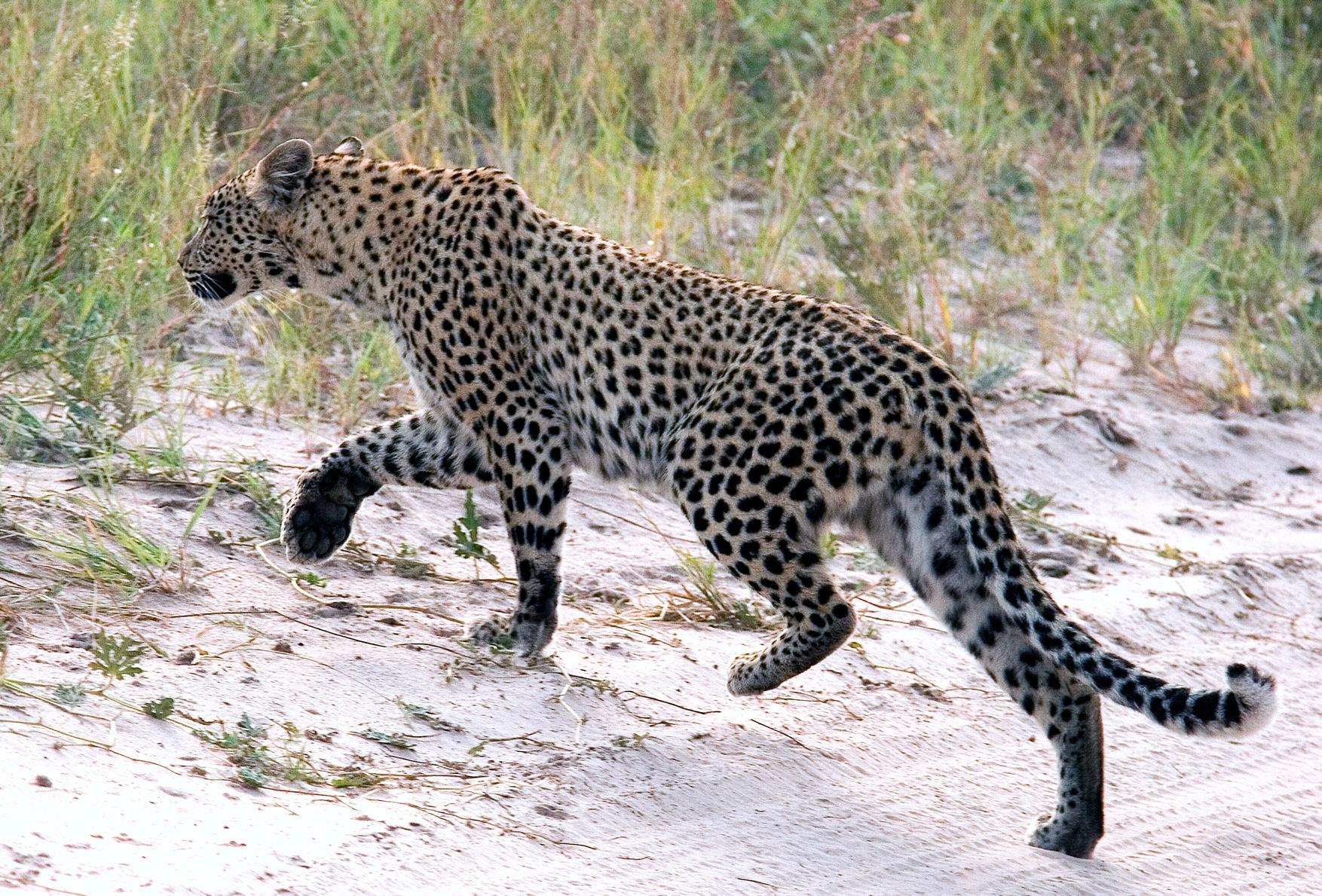 Safari Afrique Kalahari