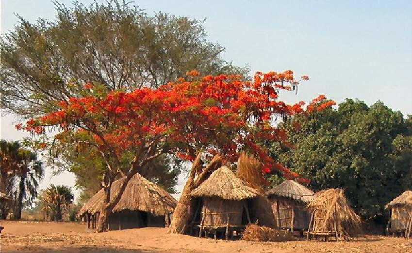 Village Zambien, flamboyant et manguiers