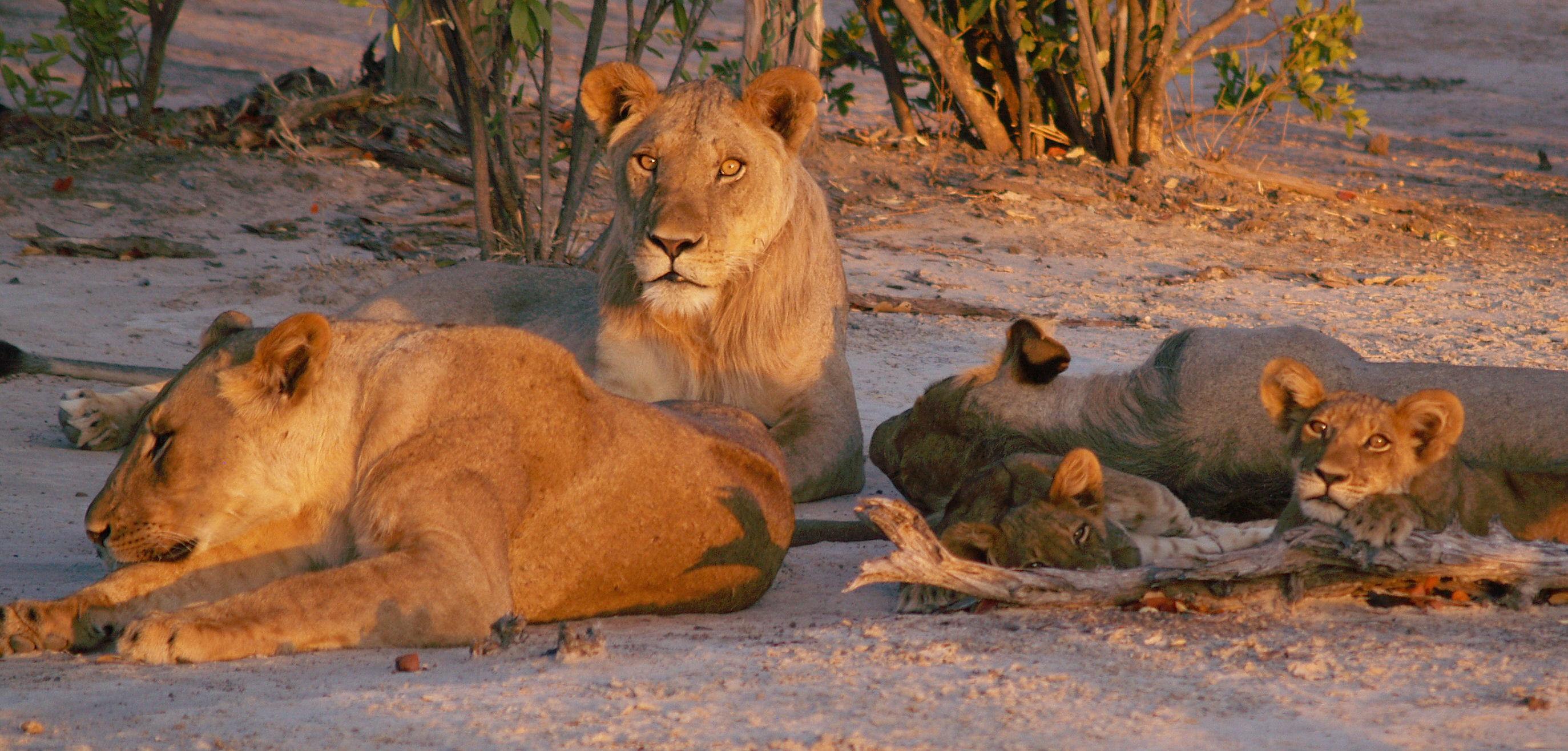 Zimbabwe, Mana Pools, famille de lion le long du Zambèze